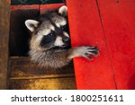 Raccoon Is A Genus Of...