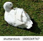 Photography Of A Duck Lying In...