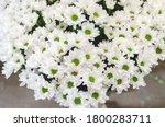 White Chrysanthemum Flowers ...