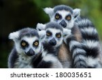Lemur Monkey Family On The Grass