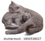 Female Of Scottish Fold Cat...