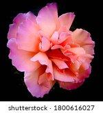 Dramatic Rose  Close Up Photo...