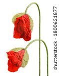 Two Red Poppy Flower Buds...