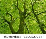 Elm Tree Canopy In Dorset...