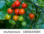 Bunch Of Cherry Tomatoes In...