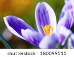 Bouquet of Crocus Flowers In Spring - stock photo