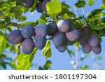 Branch Of A Plum Tree  Fruits...