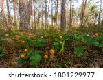 A Field Of Ripe Cloudberries ...