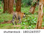 A Female Tiger Known As...