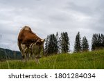 Mountain Cows Grazing On An...