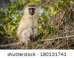 Small photo of Pesty vervet monkey perches in trees.
