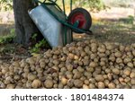 Pile Of Freshly Picked Potatoes ...