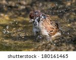 Bathing Eurasian Tree Sparrow
