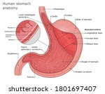 stomach anatomy illustration.... | Shutterstock .eps vector #1801697407