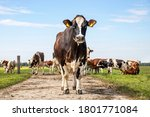 Small photo of Cow approaching, walking on a path in a pasture under a blue sky and a herd of cows as background and a faraway straight horizon