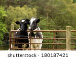Two Dairy Cows Looking Over...