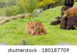 two pretty young calves lying... | Shutterstock . vector #180187709
