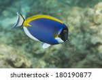 Powderblue Surgeonfish ...