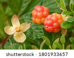 Cloudberries Is A Healthy Tasty ...