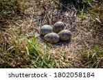 A Spur Winged Plover Nest Out...