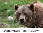 A Large Male Grizzly Bear Doing ...