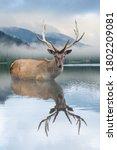 Beautiful Deer Stag Swimming In ...