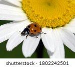 Ladybug  Coccinella...