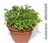 Parsley  Petroselinum  Crispum...