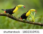 Keel Billed Toucan  Ramphastos...