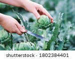 Woman Cuts Organic Artichokes...