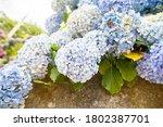Blue Hydrangea Flower In A...