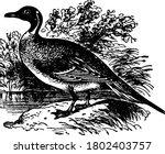 The Pintail Duck  Anas Acuta ...