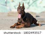 Doberman Pinscher Dog Before A...
