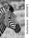 zebra portrait in nature with... | Shutterstock . vector #180250871