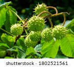 Prickly Fruits On Branches Of...