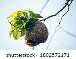 Bleached Weaver\'s Nest On The...