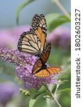 Small photo of A viceroy and monarch butterfly enjoying the nectar of a plant.