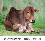 Young Zebu Resting On Grass