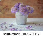 Purple Scabiosa Atropurpurea On ...