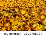 Autumn. Yellow And Red Maple...