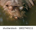 Large Water Animal Hippopotamus ...