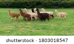 Herd Of Shaggy Suri Alpacas In...