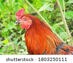 Portrait Of Asia Rooster...