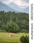 Small photo of Cows eating grass on mountain pasturage in Pirin National Park, Bulgaria