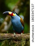 Plate Billed Mountain Toucan A...