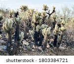 Teddy Bear Cholla Cactus  Also...