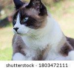 Snowshoe Cat Relaxing In The...