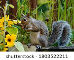 Squirrel Sits Eating A Peanut.  ...