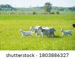 Herd Of White Goats In Green...