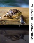 Achatina Fulica Is A Species O...